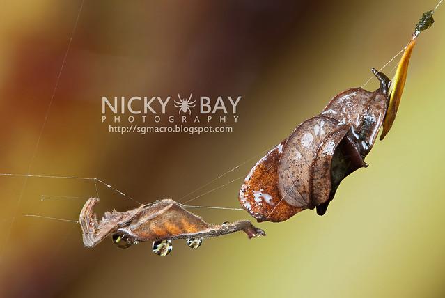 Scorpion-tailed Orb Weaver (Arachnura sp.) - DSC_4569