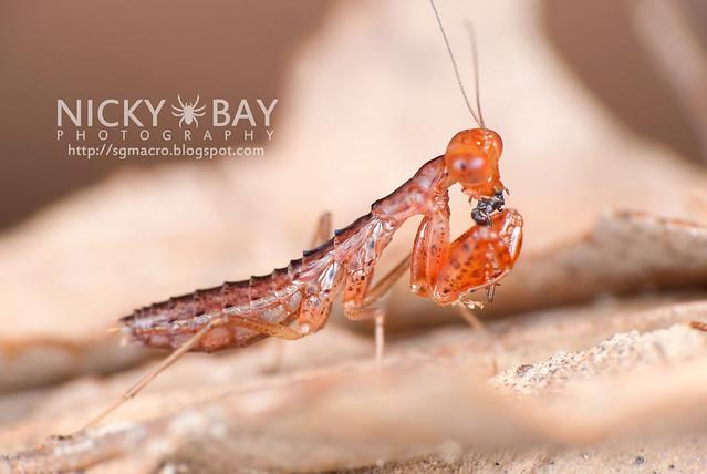 Praying Mantis nymph (Mantodea) - DSC_3164