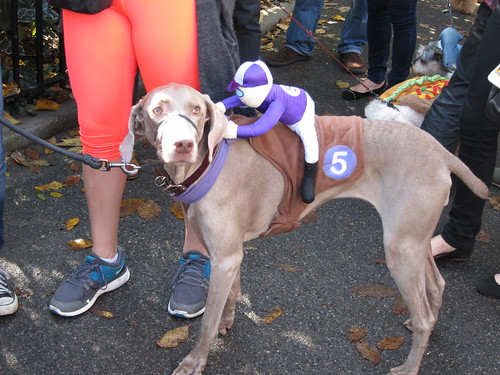 Weimeraner race-dog costume