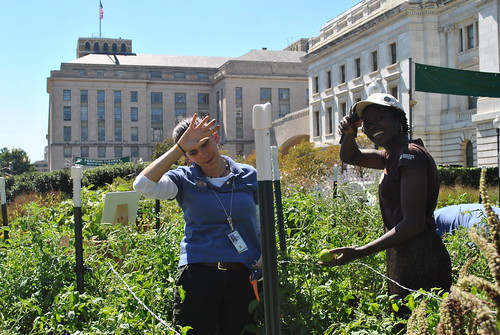USDA Executive Master Gardeners Jenifer Stevenson (Loan Specialist for USDA-Rural Development on left) and Effie Baldwin (Management Resource Officer for USDA-National Institute of Food and Agriculture on right) work hard at picking Tomato 'Abraham Lincoln' in the Headquarters People's Garden. Volunteers harvest from the garden during lunchtime every Tuesday. Over 1,000 lbs of fresh produce has been donated to a local community kitchen so far this year.