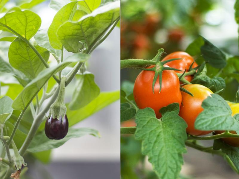 Beringelas e tomates // Aubergines & Tomatoes