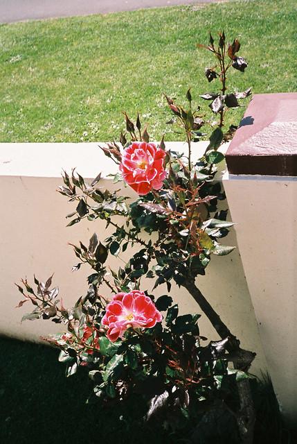 manuka_roses