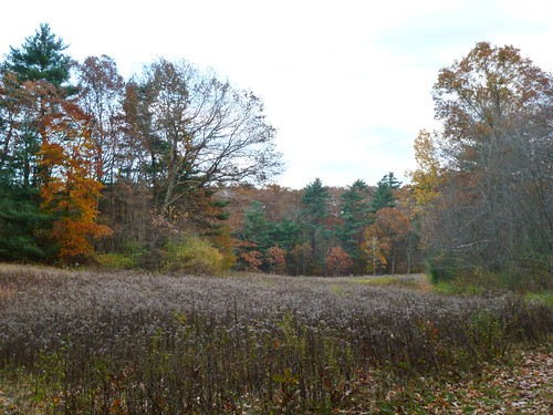 Goldenrod meadow