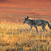 Coyote-on-the-Prowl-at-Yellowstone-National-Park-Wyoming