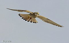 Amazing _Kestrel_In Flight