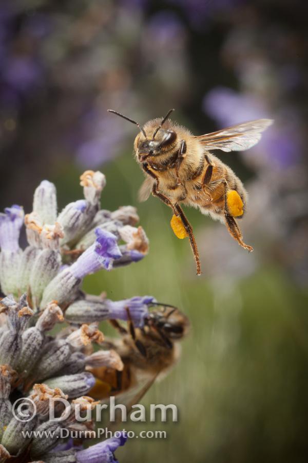 lavender pollination