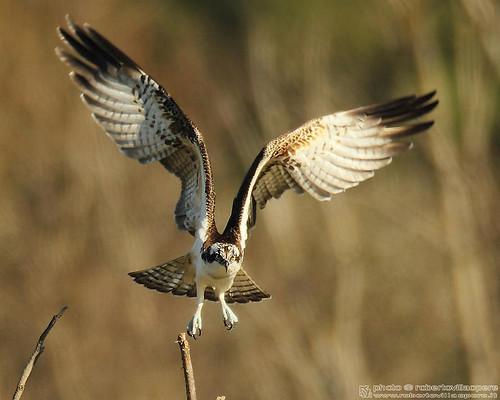 Falco pescatore - Pandion haliaëtus - Osprey by robertovillaopere