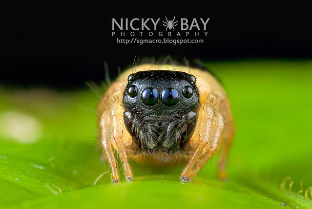Jumping Spider (Pystira ephippigera) - DSC_9165