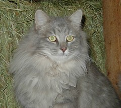domestic long-haired cat, animal, maine coon, british semi-longhair, small to medium-sized cats, pet, fauna, siberian, cat, carnivoran, whiskers, nebelung, norwegian forest cat,