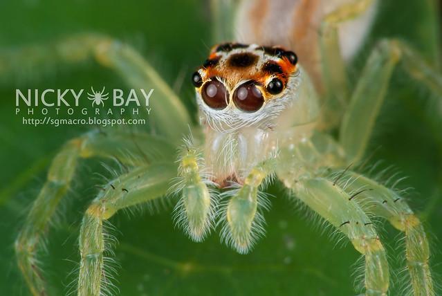 Jumping Spider (Telamonia elegans) - DSC_7687