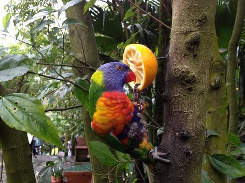 彩虹吸蜜鸚鵡