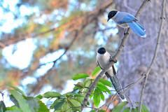 オナガ (Azure-winged Magpie)