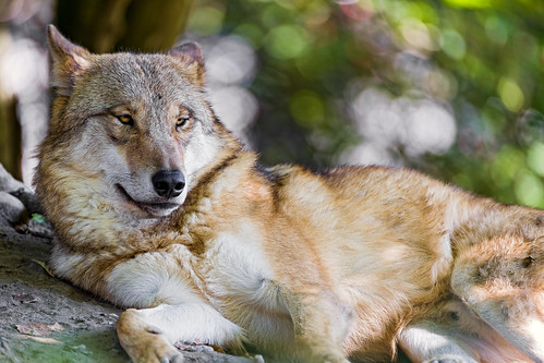Relaxed wolf by Tambako the Jaguar