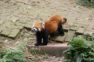 Red Panda yelling at visitors