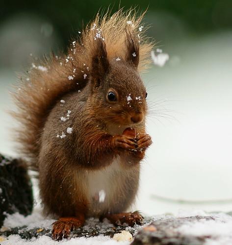 Hazelnut in the Snow