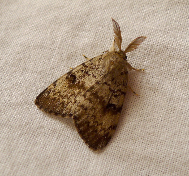 Gypsy Moth. Lymantria dispar..Male(plumed antennae)
