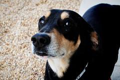 Knox, Coonhound mix