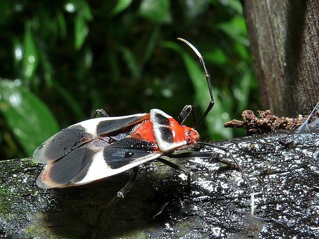 Header of largidae