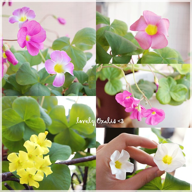 winter means oxalis season ♥