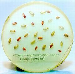 50年代美國農夫在乾淨的穀物內混入用甲基汞殺菌處理過的麥子。美國食品藥物管理局扣押450萬磅的混合穀物並進行汞測試,圖中粉紅色的麥仁就是被處理過的。(照片提供:美國食品藥物管理局)