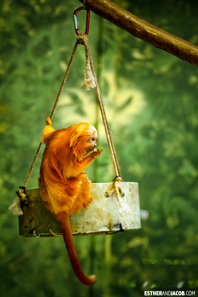Golden Lion Tamarin Zoo Atlanta | Tourists at Home Atlanta Edition