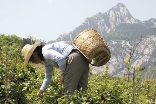 Cueilleuse dans le jardin du Huang Shan Mao Feng