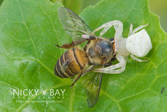 Crab Spider (Thomisidae) - DSC_8396
