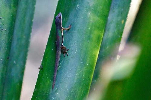 Lined day gecko (Phelsuma lineata lineata)