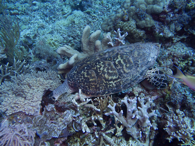 Turtle eating on coral