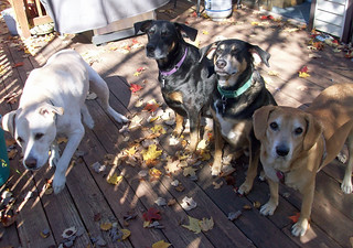 4dogs_101312i