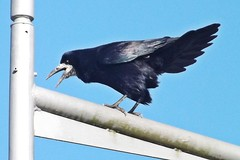perching bird(0.0), eurasian magpie(0.0), animal(1.0), wing(1.0), raven(1.0), crow(1.0), fauna(1.0), blue(1.0), american crow(1.0), beak(1.0), bird(1.0), rook(1.0),