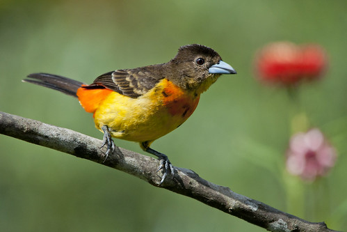 Ramphocelus flammigerus female (Flame-rumped Tanager)