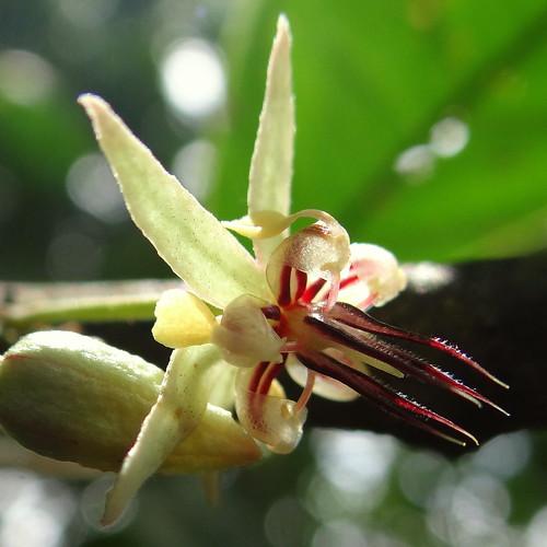 Flor de Cacao [Cocoa Flower] (Theobroma cacao)