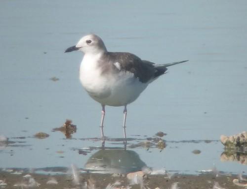 Sabine's Gull, Woodland, CA