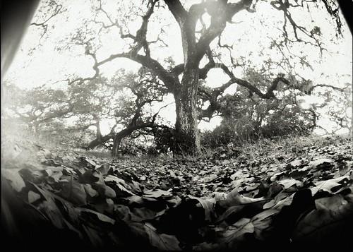 trees pinhole papernegative oaks cranecreek goatrockcam