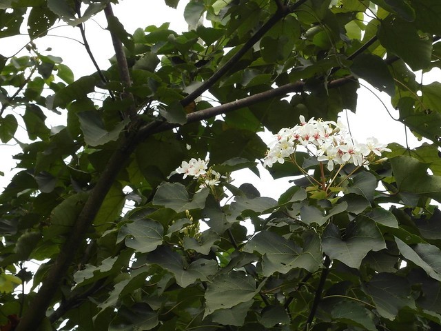 油桐花,可以為咖啡遮蔭