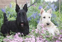 glen of imaal terrier(0.0), cairn terrier(0.0), australian terrier(0.0), west highland white terrier(0.0), dog breed(1.0), animal(1.0), berger picard(1.0), dog(1.0), pet(1.0), vulnerable native breeds(1.0), schnauzer(1.0), miniature schnauzer(1.0), carnivoran(1.0), scottish terrier(1.0), terrier(1.0),