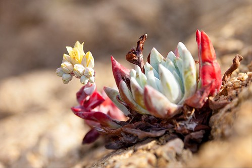Xenobiology (Californian Echeveria Succulent), Big Sur by flatworldsedge
