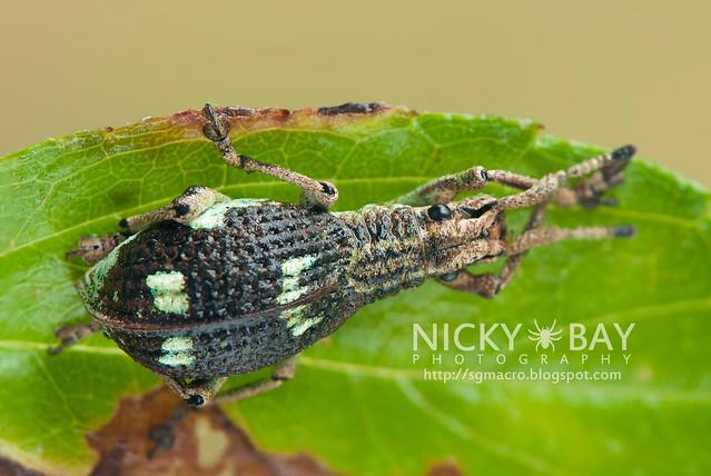 Weevil (Curculionidae) - DSC_2583