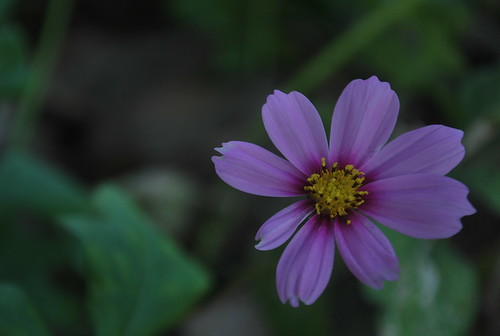 "365 Day 46. ""Purple Petals"" by Sunset Dream Photography"