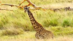 animal, prairie, giraffe, fauna, giraffidae, savanna, grassland, safari, wildlife,