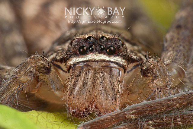 Huntsman Spider (Sparassidae) - DSC_1421