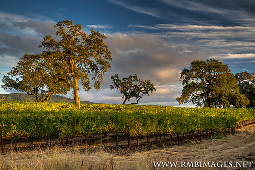 california trees light northerncalifornia clouds vineyard oak weeds nikon sonomacounty oaktrees kunde kenwood highway12 rmbimages