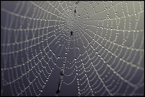 Spider Web Full Of Dew