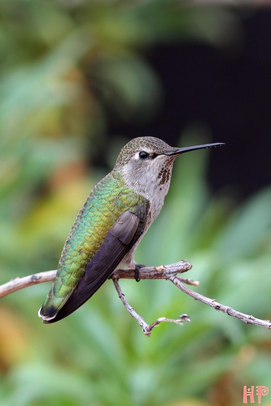 Anna's Hummingbird 102512