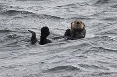 animal, seals, marine mammal, ocean, wind wave, sea otter,