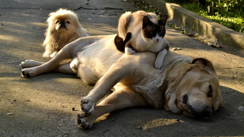 yellow Labrador, cat and Pekingese lying together