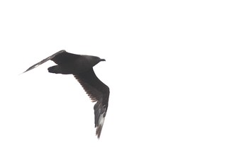 South Polar/Great Skua