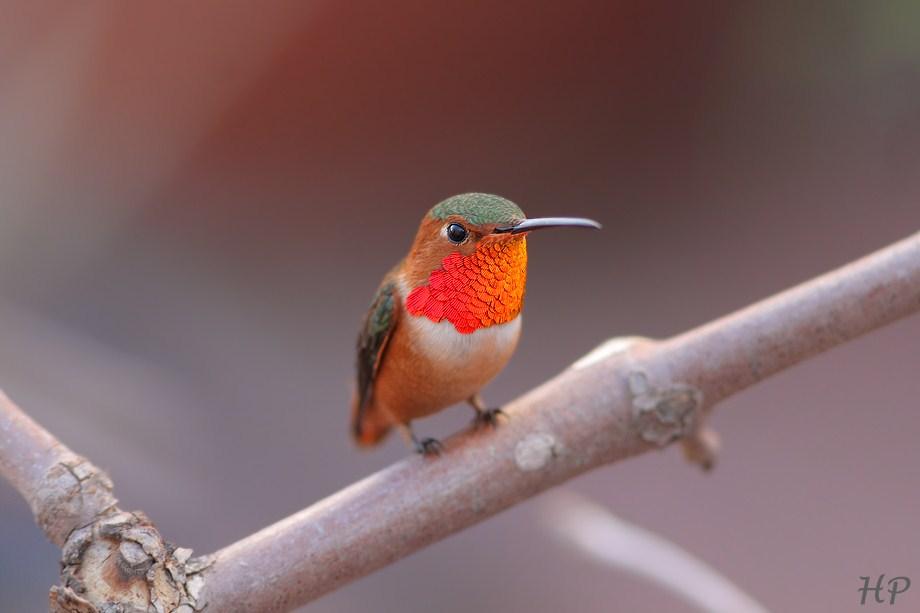 Allen's Hummingbird 010813-6