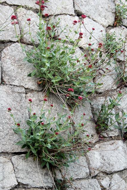 Centranthus ruber (Red valerian) — Кентрантус красный (Валериана красная)